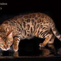 Бенгальские кошки бенгальские котята