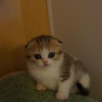 http://www.maxelcats.ru/ru/zoo/kitten-sale.html